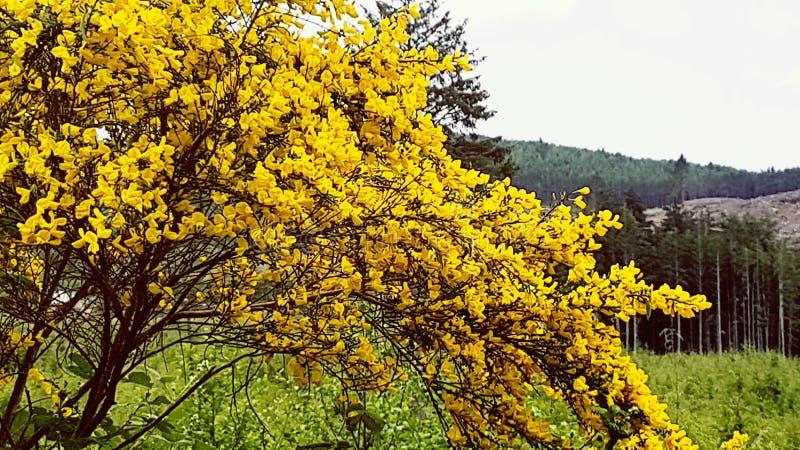 Arbusto giallo luminoso splendido davanti a stupire il paesaggio della costa dell'Oregon fotografia stock libera da diritti