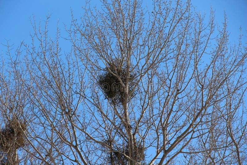 Arbusto grande del muérdago floreciente en un árbol/una estación de la primavera/ foto de archivo libre de regalías