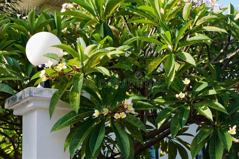 Arbusto grande del plumeria floreciente tropical fotos de archivo