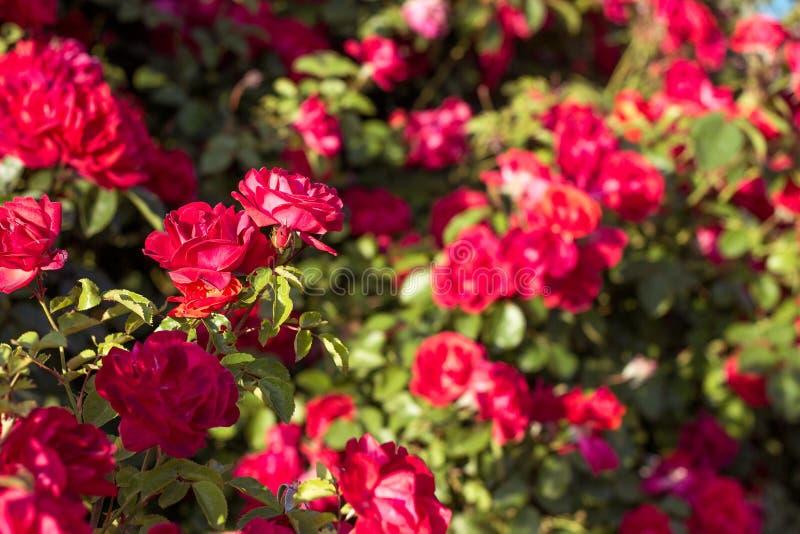 Arbusto hermoso de rosas rojas en un jardín de la primavera Rosas rojas Jardín floreciente Primavera Verano imagen de archivo