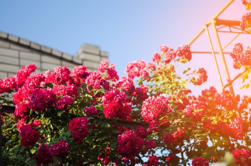 Arbusto hermoso de rosas rosadas en un jardín de la primavera en un día soleado imagenes de archivo
