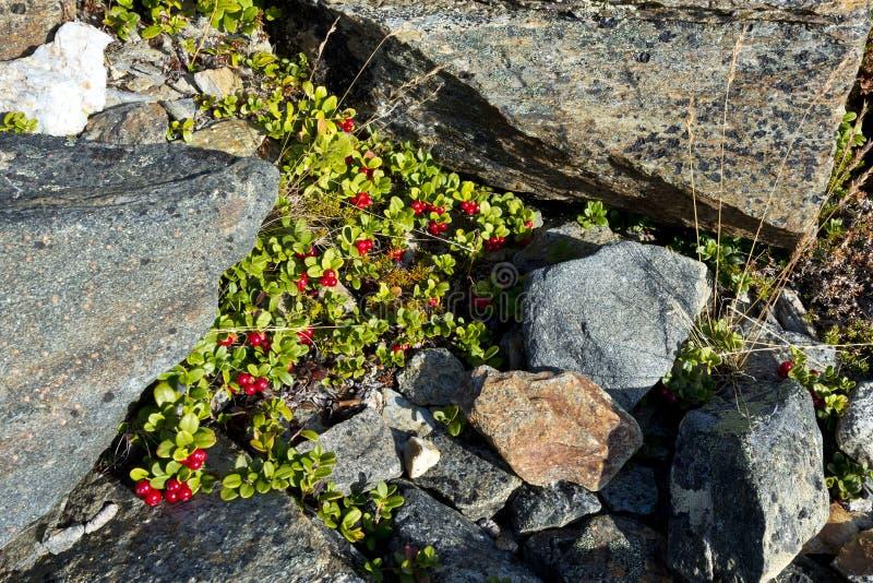 Arbusto imperecedero corto del lingonberry del arándano, partridgeberry o imagen de archivo libre de regalías