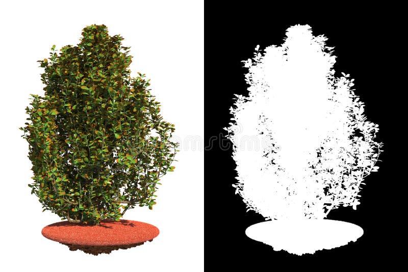 Arbusto isolato su cenni storici bianchi. immagine stock libera da diritti
