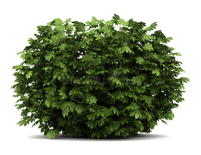 Arbusto japonês da arália isolado no branco fotografia de stock royalty free