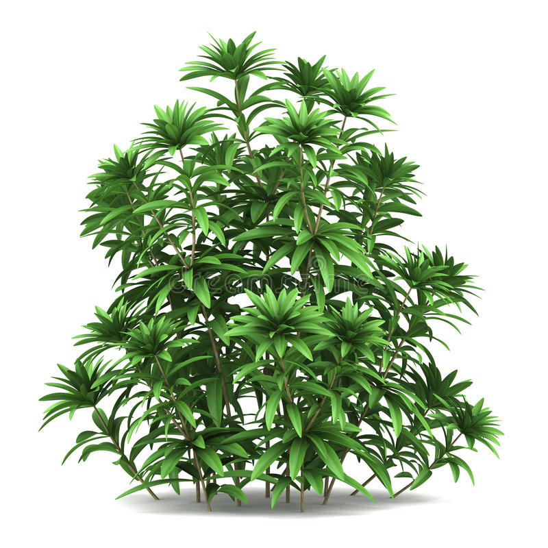 Arbusto japonês do andromeda isolado no branco ilustração royalty free