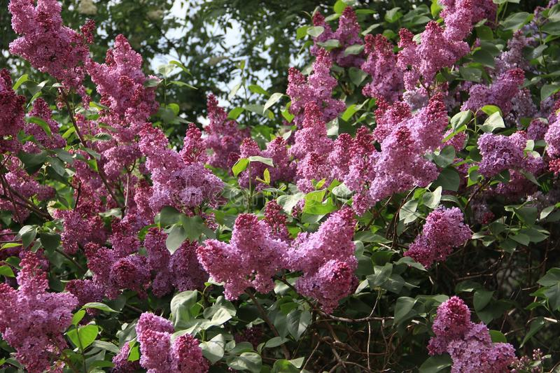 Arbusto lilás fotografia de stock royalty free