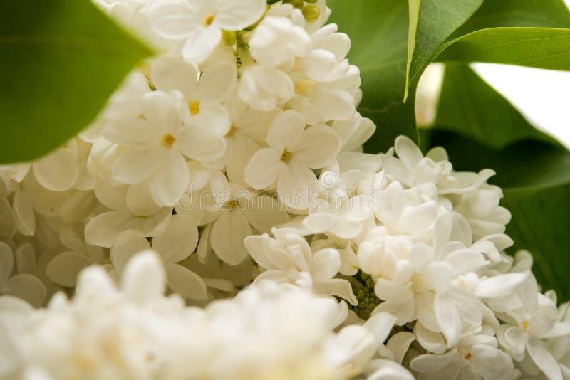 Arbusto lilás bonito foto de stock