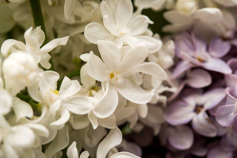 Arbusto lilás bonito fotos de stock royalty free