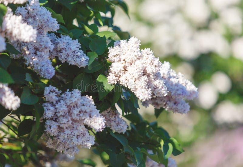 Arbusto lilás cor-de-rosa de florescência no tempo de mola com luz solar Flores lilás de florescência do rosa e as violetas Estaç fotografia de stock royalty free
