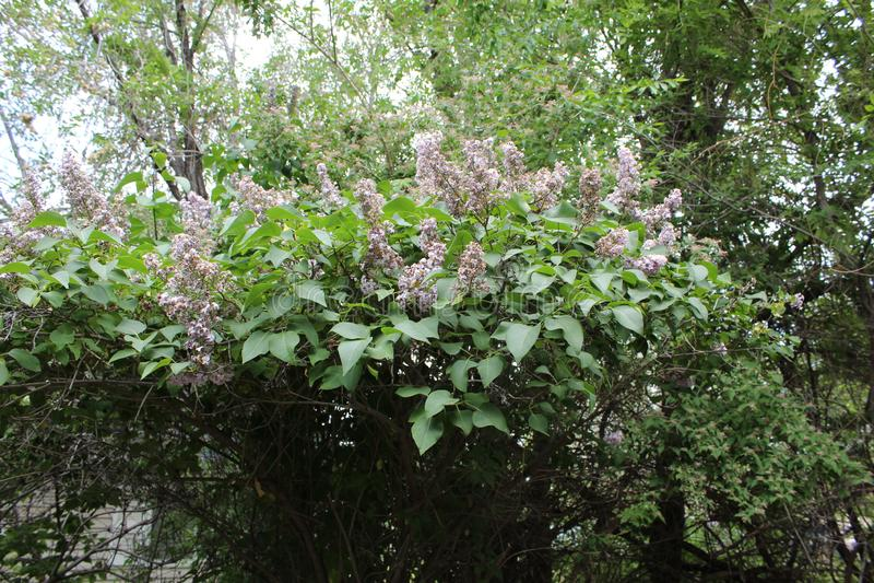 Arbusto lil?s foto de stock royalty free