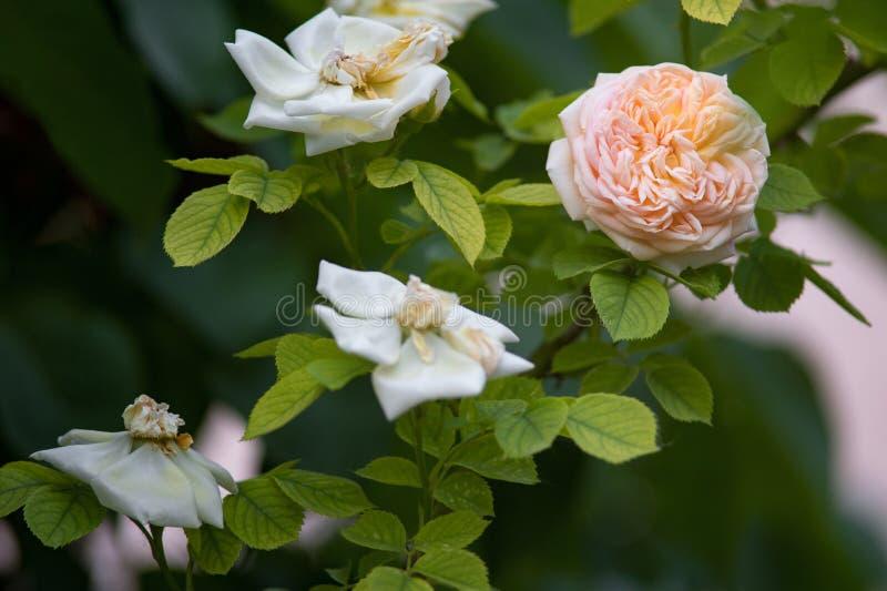 Arbusto magnífico con las flores delicadas de rosas fotos de archivo libres de regalías