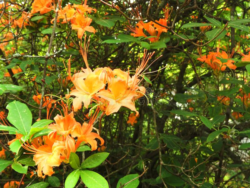Arbusto nativo da azálea da chama em Massachusetts fotos de stock royalty free