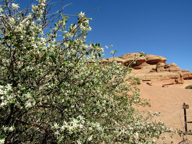Arbusto no parque nacional do arco, Utá do Serviceberry de Utá, EUA imagens de stock royalty free