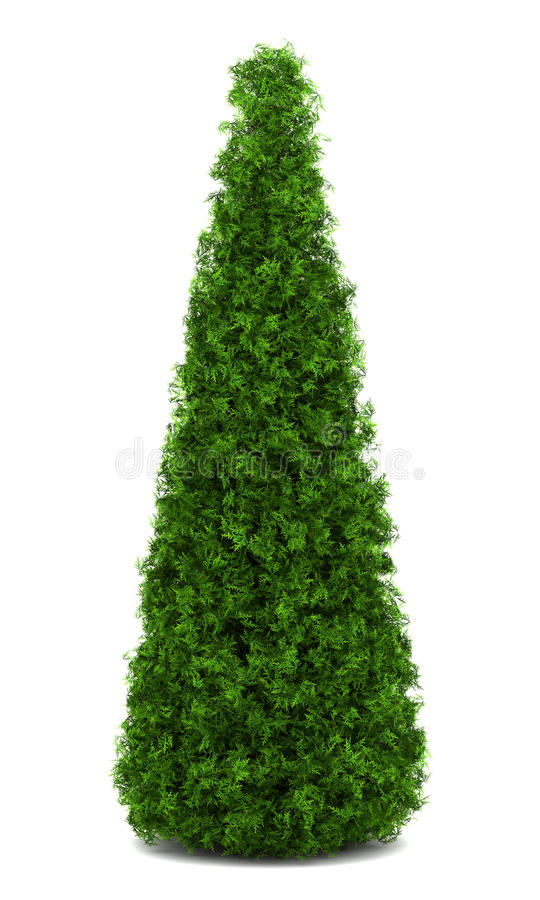 Arbusto oriental do arborvitae isolado no branco ilustração stock