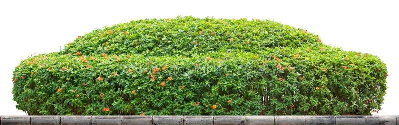 Arbusto ornamental foto de archivo
