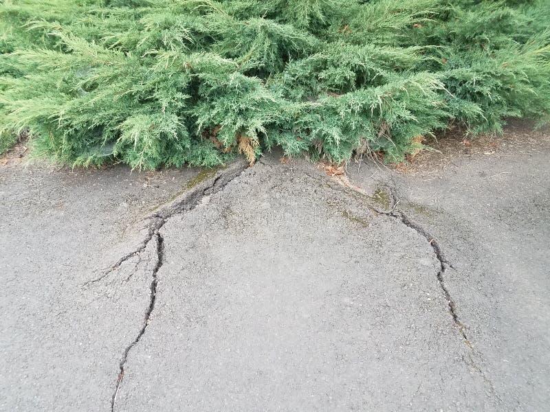 Arbusto ou planta verde com asfalto preto danificado das raizes da árvore fotos de stock royalty free