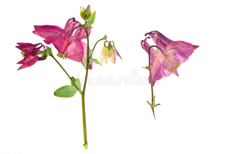 Arbusto pressionado e secado com o aquilegia da flor vulgar, isolado ilustração stock