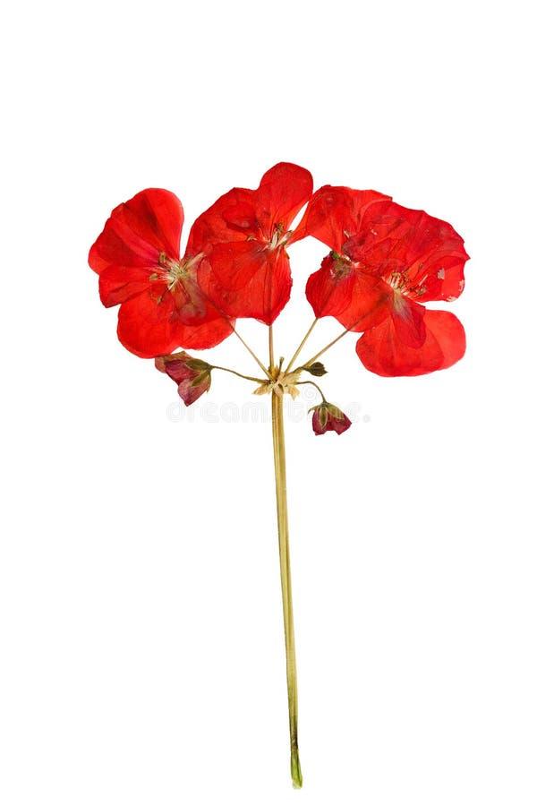 Arbusto pressionado e secado com o gerânio vermelho delicado da flor (Pelarg imagens de stock royalty free