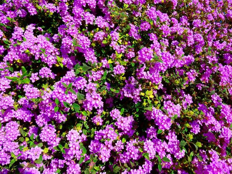 Arbusto que se arrastra púrpura del montevidensis del Lantana imagen de archivo libre de regalías