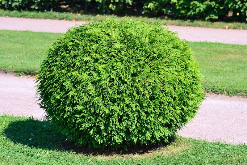 Arbusto redondo fotografia de stock