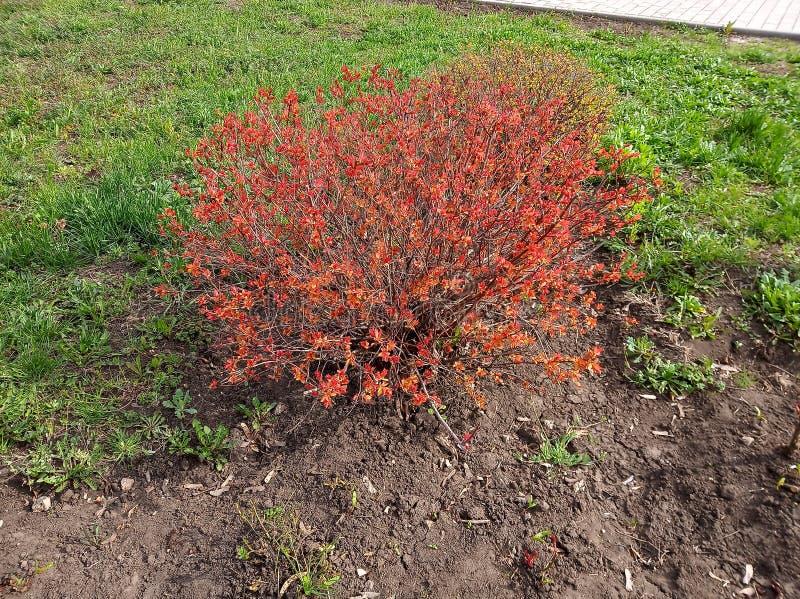 Arbusto rojo magnífico en parque en primavera en el tiempo soleado fotos de archivo