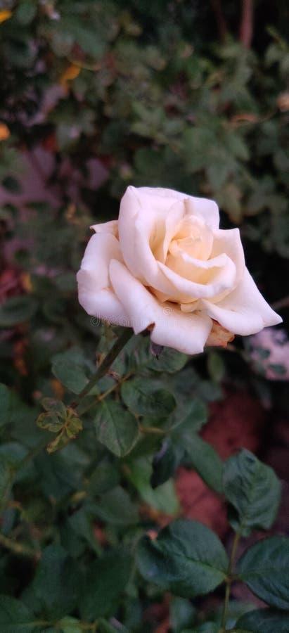 Arbusto rosa chiaro Nome dell'esposizione: Julia Renaissance Origine: Allevato da L Pernille Olesen fotografia stock