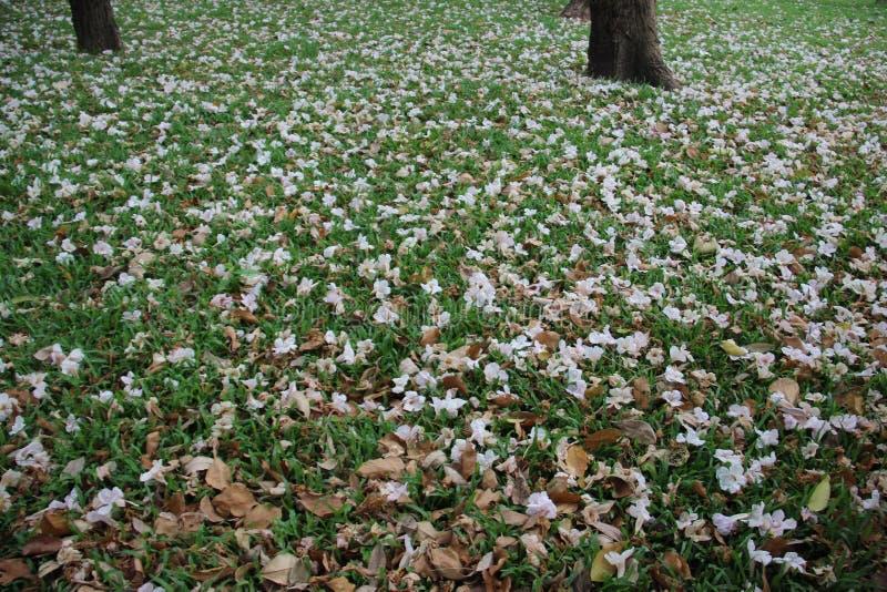 Arbusto rosado de la trompeta en hierba verde fotografía de archivo libre de regalías