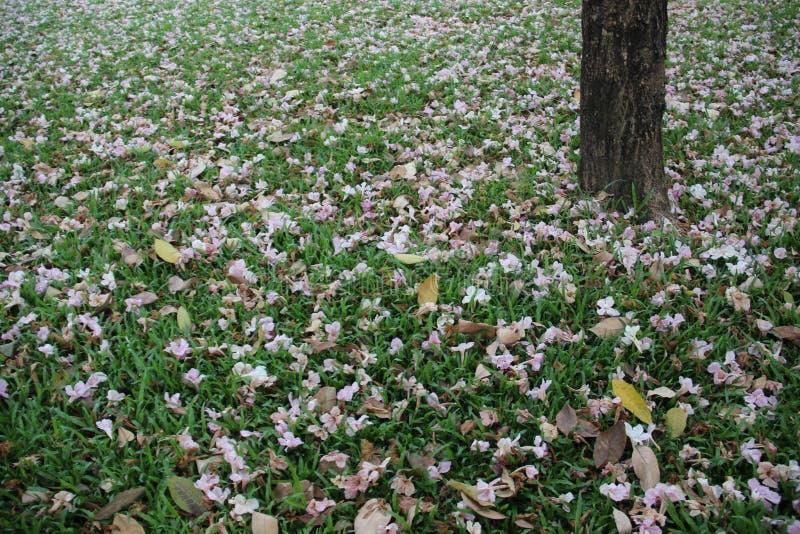 Arbusto rosado de la trompeta en hierba verde fotos de archivo