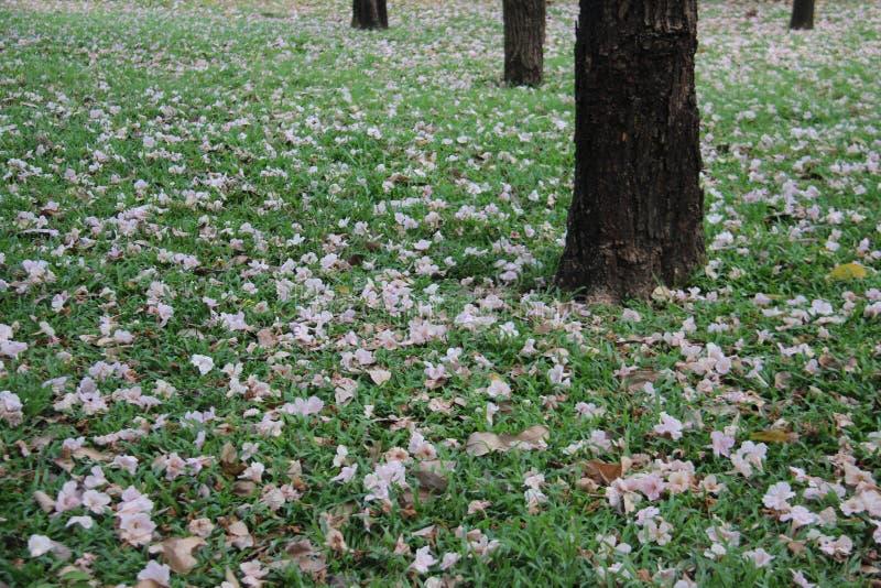 Arbusto rosado de la trompeta en hierba verde y árbol imagen de archivo