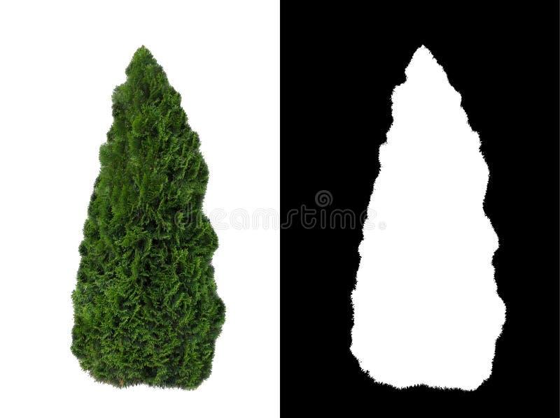 Arbusto sempre-verde decorativo 2 fotos de stock royalty free