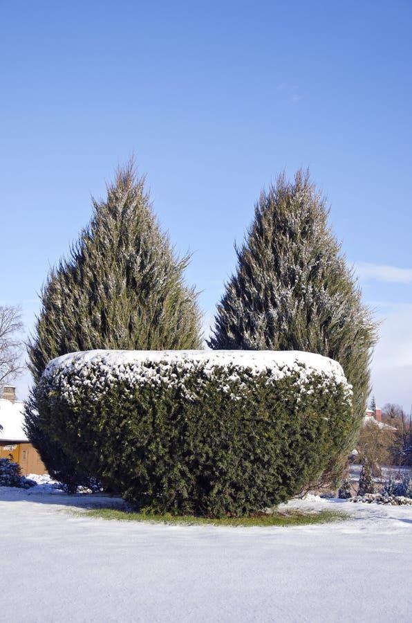 Arbusto sempre-verde decorativo da árvore no parque do inverno fotos de stock