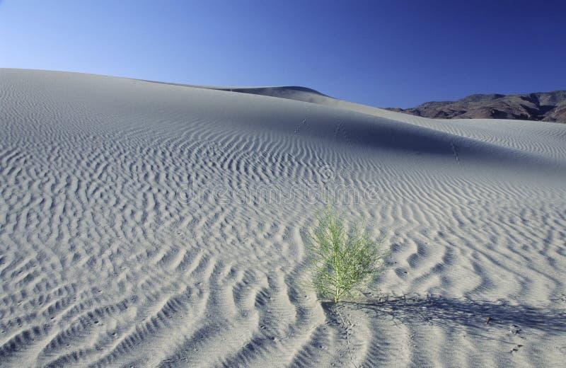 Arbusto solitario del desierto en una duna de arena grande imagenes de archivo