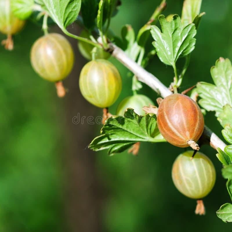 Arbusto tropical crescente da groselha Conceito doce do alimento do vegetariano orgânico Close-up, foto seletiva imagem de stock royalty free