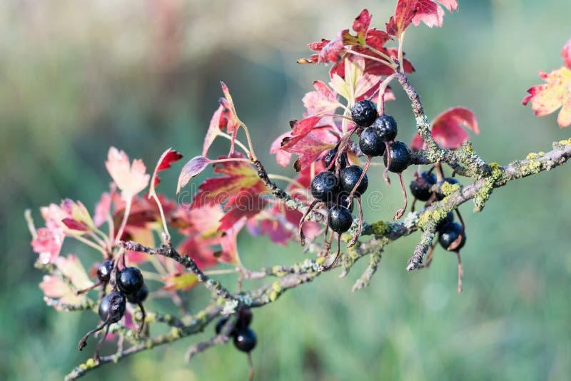 Arbusto velho com as bagas do corinto preto e ramos e as folhas doentes do vermelho imagens de stock royalty free