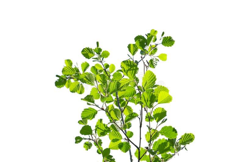 Arbusto verde aislado fotos de archivo