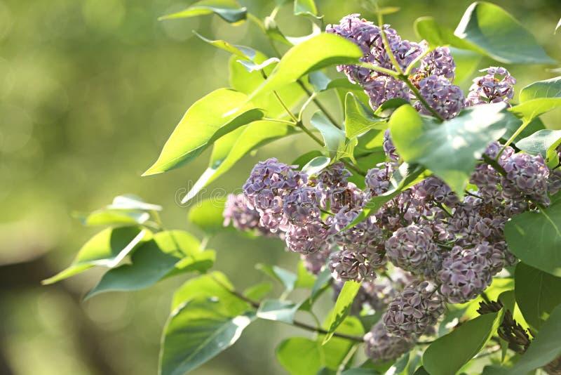 Arbusto verde bonito com as flores lilás macias perfumadas no jardim no dia ensolarado Flor impressionante da mola imagens de stock royalty free