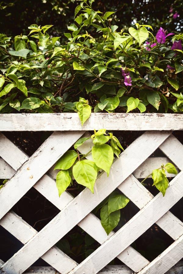 Arbusto verde bonito da buganvília com as flores roxas atrás do wh fotos de stock royalty free