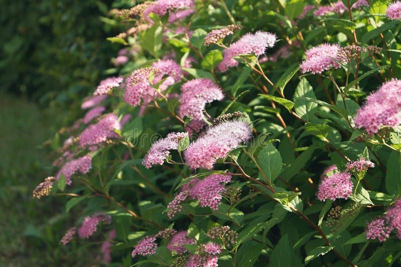 Arbusto verde con las flores rosadas o púrpuras en el jardín fotografía de archivo libre de regalías