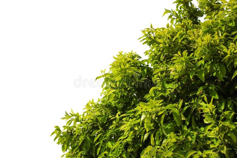 Arbusto verde con las hojas jugosas jovenes y las ramas enormes aisladas imagenes de archivo