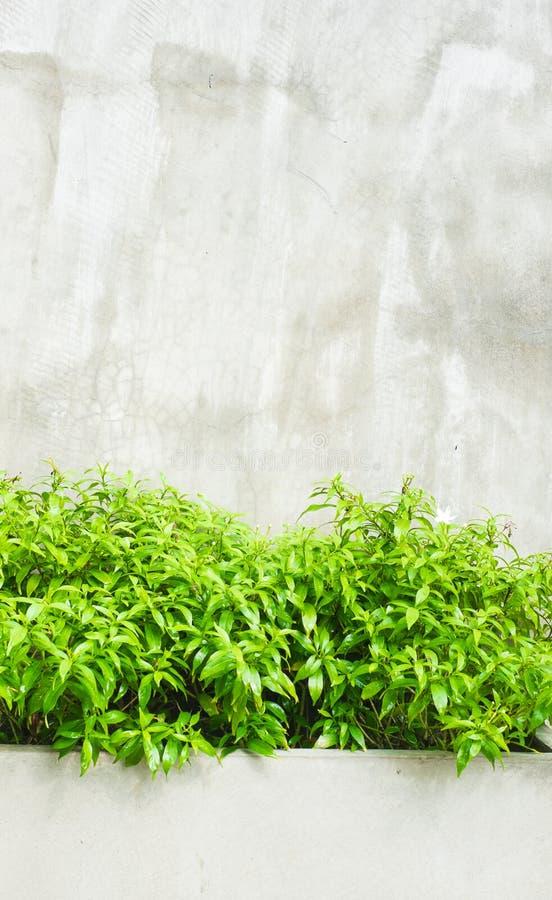 Arbusto verde de la hoja con el muro de cemento fotos de archivo