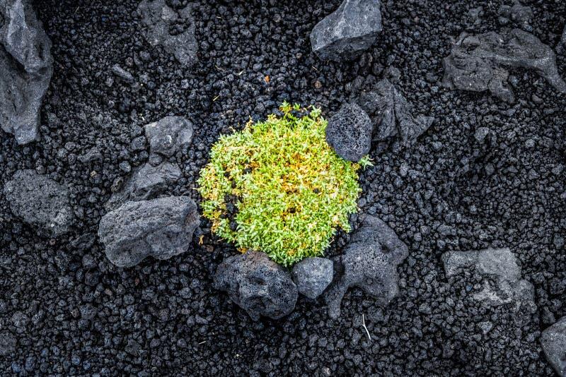 Arbusto verde entre las rocas volcánicas en el monte Etna foto de archivo
