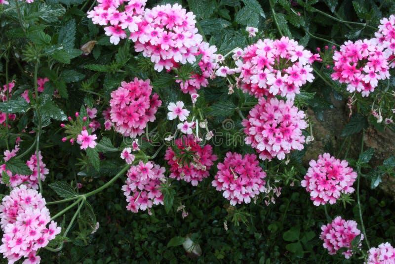 Arbusto verde luxúria do rosa e da flor roxa do verbena fotos de stock