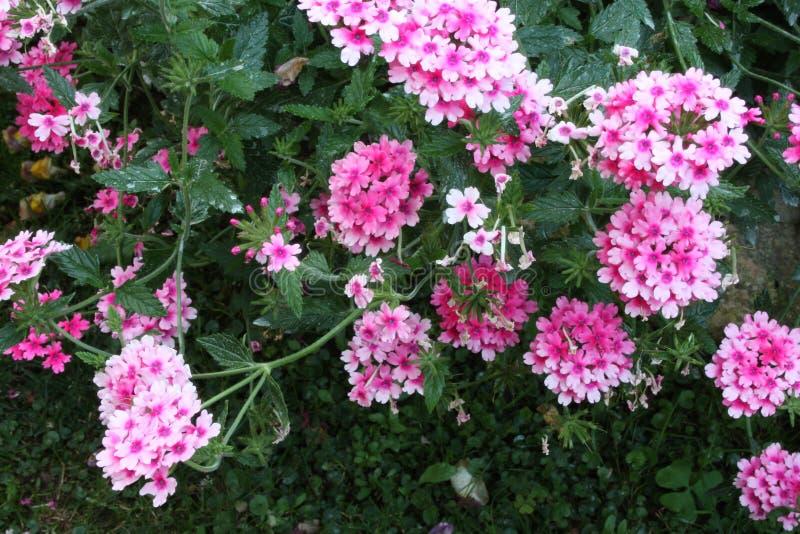 Arbusto verde luxúria do rosa e da flor roxa do verbena foto de stock