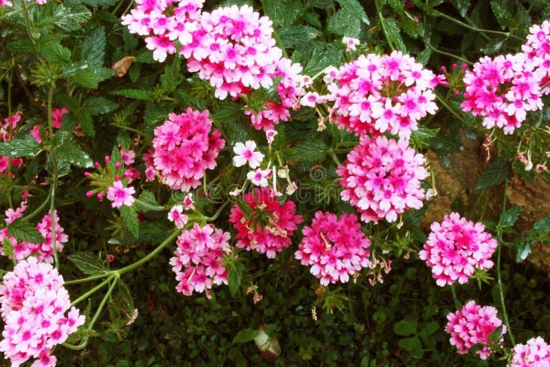 Arbusto verde luxúria do rosa e da flor roxa do verbena imagens de stock royalty free