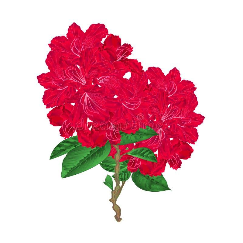 Arbusto vermelho da montanha dos rododendros do galho das flores dos galhos em uma ilustração branca do vetor do vintage do fundo ilustração stock