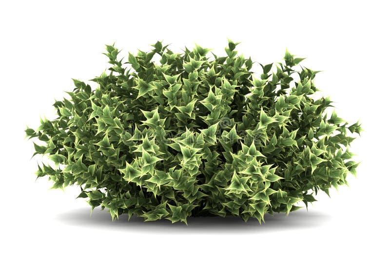 arbusto Vermelho-descascado do dogwood isolado no branco foto de stock