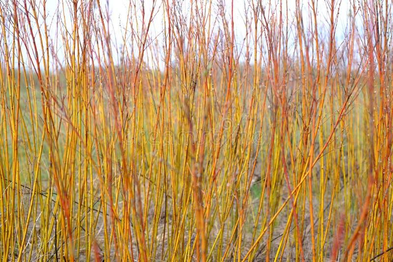 Arbusto vermelho dos ramos imagens de stock royalty free