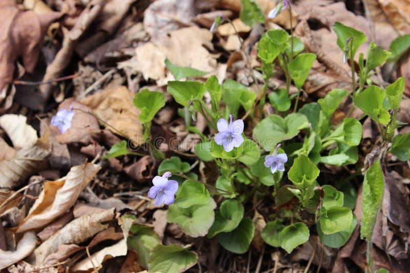 Arbusto violeta fotografía de archivo libre de regalías