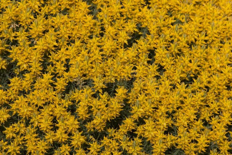 Arbustos amarelos do densus do ulex fotografia de stock