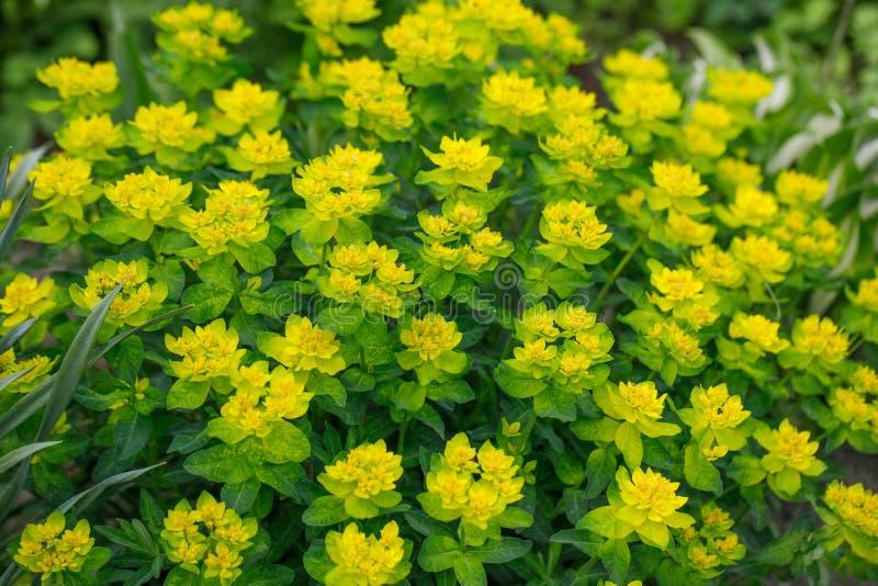 Arbustos amarillos brillantes del milkweed en un fondo verde en el jardín Amortigüe el spurge, epithymoides del euforbio en un dí foto de archivo